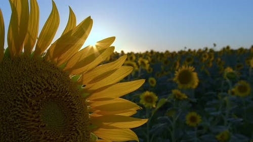 Sunflowers In Green Nature 2