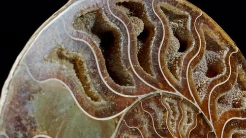 Ammonite Fossil Embedded in Stone, Real Ancient Petrified Shell.