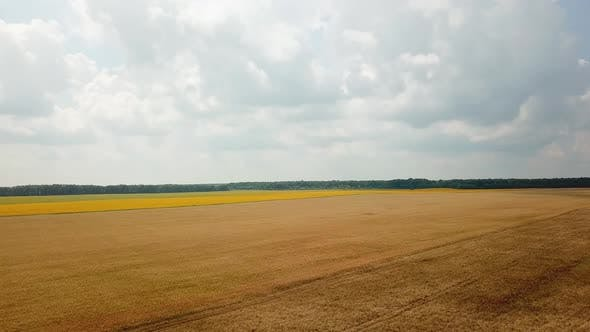 Field of Wheat is Ripening in the Summer
