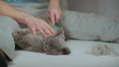 A Man Caring for the Coat of a Longhaired British Cat
