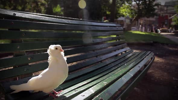 Thumbnail for White Pigeon perched on a Bench.