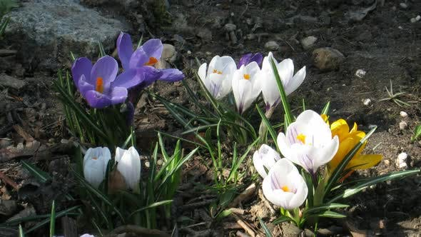Thumbnail for Time-lapse of colorful crocuses growing in a field