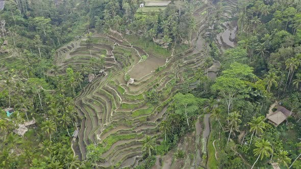 Drone Over Tegalalang Rice Terrace Fields