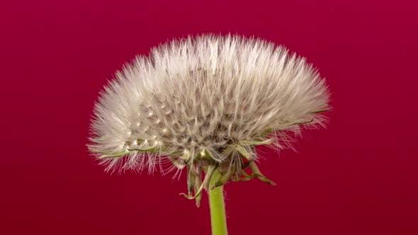 Dandelion Seed Blossom Timelapse on Red