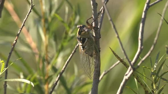 Thumbnail for Bush Cicada Erwachsene einsame Ruhe im Sommer in South Dakota