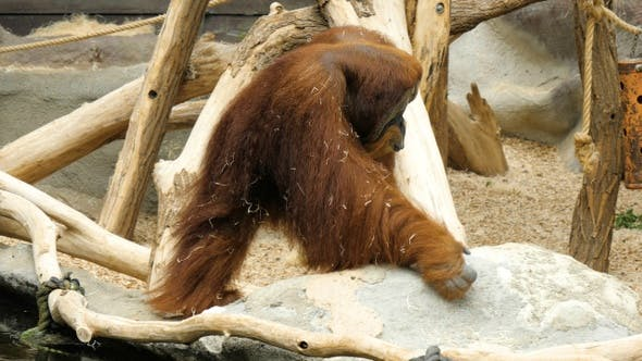 Thumbnail for Orangutan walking around the aviary.