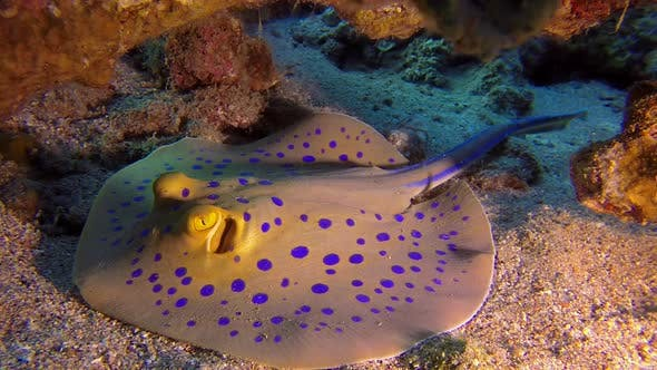 Thumbnail for Underwater Colorful Bluespotted Stingray
