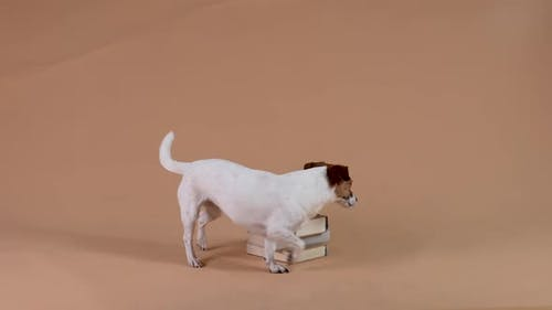 Jack Russell in the Studio on a Brown Background