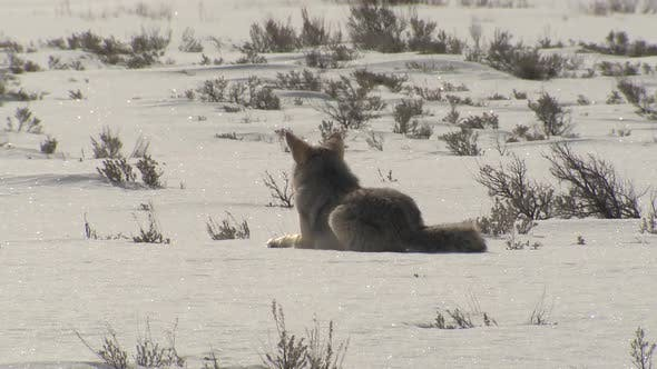 Cover Image for Coyote Adult Lone Bedded Resting Sitting in Winter in Yellowstone National Park Wyoming