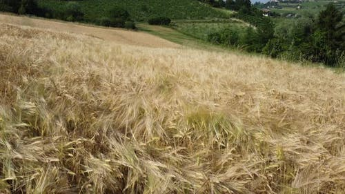 Wheat Agriculture Cultivation
