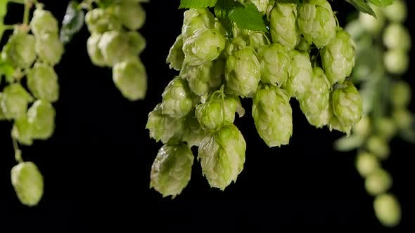 Drops of Water Falling From Hops or Humulus. Black Background. Slow Motion