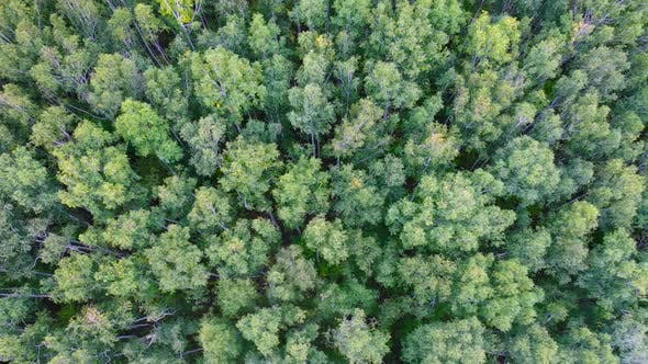 Thumbnail for Aerial,Drone Flight Over Green Forest, View From Top