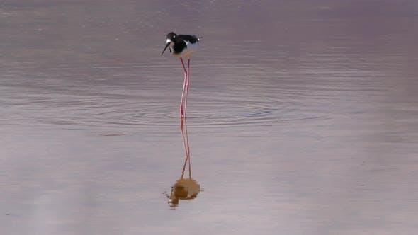 Hawaiian Stilt Adult Lone Eating Feeding Reflection Water in Hawaii
