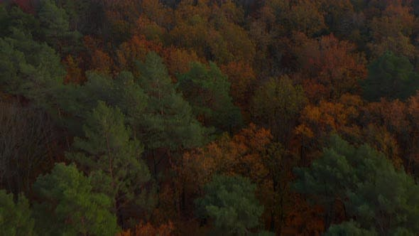 Wonderful Mixed Autumn Colors, Green Red and Orange Vivid Colored Forest, Aerial High Angle Dolly