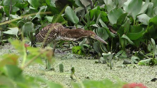 Rufescent Tiger Heron Immature Lone Hunting Foraging in Brazil