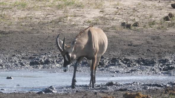 Thumbnail for Roan Antelope standing in a muddy waterhole