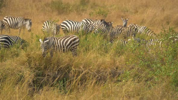 Thumbnail for Zebras on grassland