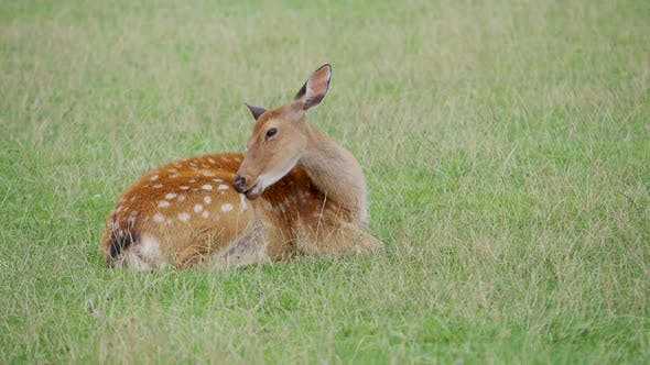 Thumbnail for Sika Deer, Cervus Nippon Is Lying in Grass and Chewing Something. Spotted Deer or the Japanese Deer