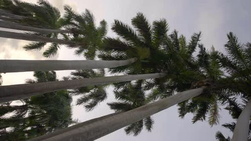 Vertical Motion Footage Tall Palm Trees 4k 60fps