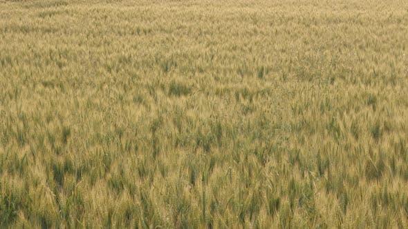 Thumbnail for Field of common  wheat Triticum aestivum 4K video