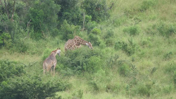 Thumbnail for Two giraffe eating from a tree