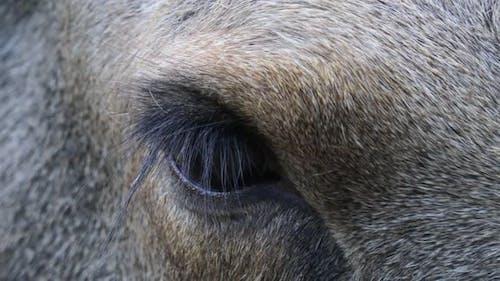 Wild Moose Eye Close Up