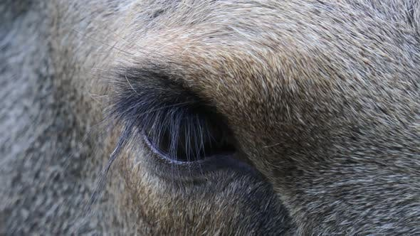 Thumbnail for Wild Moose Eye Close Up