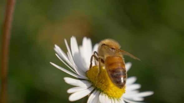 Honey Bee Daisy Close Up