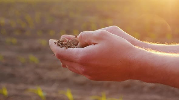 Thumbnail for The Farmer's Hands Hold Fertile Soil on the Field. Against the Background Can Be Seen Young Shoots