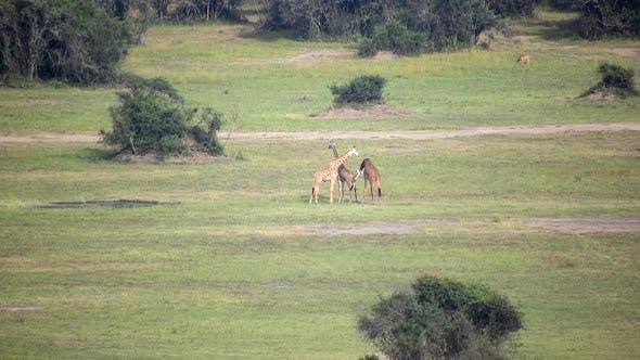 A Herd of Wild Giraffes in Their Natural Habitat in the Savanna
