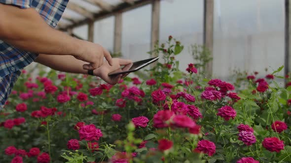 Thumbnail for Close-up of Hands of a Farmer Businessman Touching the Roses and Use Your Fingers To Tap on the