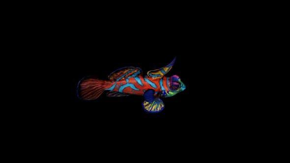 Thumbnail for Mandarinfish Swim Top View