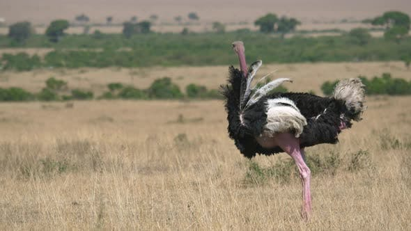 Thumbnail for Male ostrich in Masai Mara