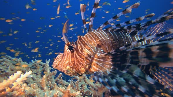 Thumbnail for Swimming Lionfish