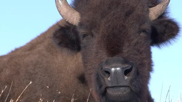 Thumbnail for Bison Lone Chewing Ruminating Cud in Winter in South Dakota