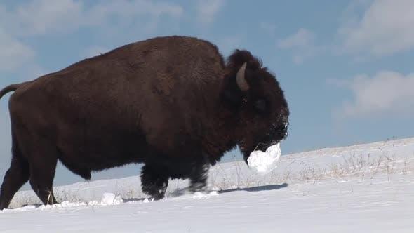Thumbnail for Bison Bull Adult Lone Walking Moving in Winter Clod Ball in South Dakota