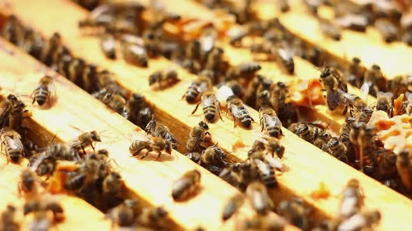 Large Family of Honey Bees Climb Wooden Frames in the Street Closeup on a Sunny Summer Day
