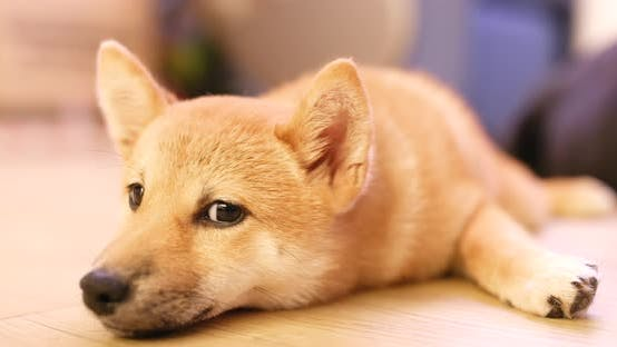 Thumbnail for Shiba Inu in the living room