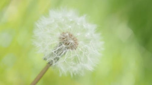 Blowball Taraxacum flower in  green natural background 4K 3840X2160 UHD footage - Lonely dandelion f