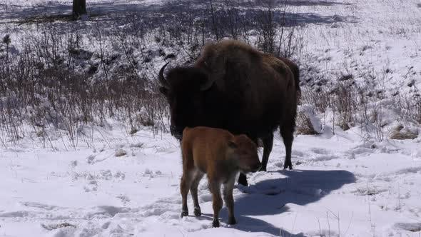 Thumbnail for Bison aka Buffalo Cow Female Young Calf Baby Standing in Spring Snow