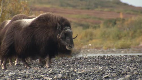 Musk Ox Cow Female Adult Young Herd Many Standing in Autumn in Alaska