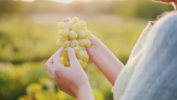 Winemaker Holding a Bunch of Grapes on the Background of the Vineyard