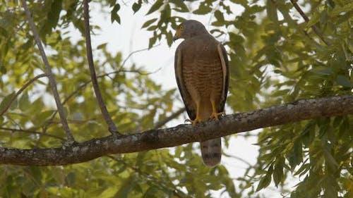 Roadside Hawk Adult Lone Perched Looking Around in Costa Rica
