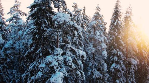 Coniferous Trees with Snow Grow in Large Forest in Winter