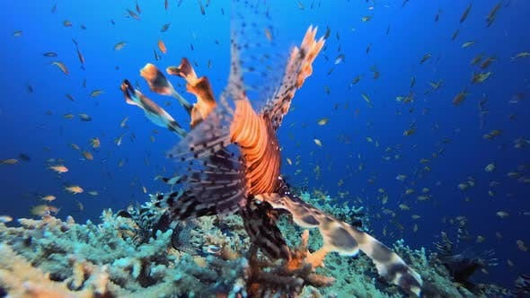 Tropical Blue Water Colorful Fishes Lionfish