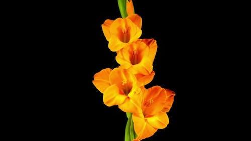 Time lapse of Opening Orange Gladiolus Flower