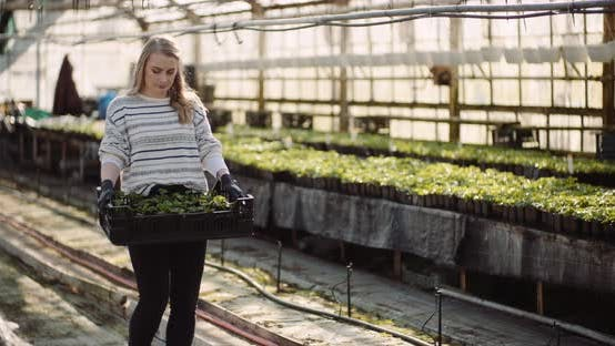 Thumbnail for Female Gardener Working with Geranium Flowers in Greenhouse