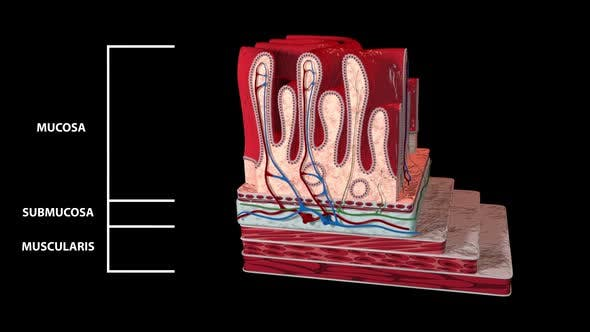 Thumbnail for Stomach Layers Detailed And Labeled
