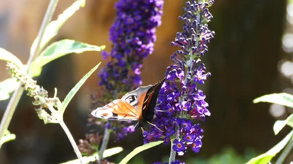 Peacock butterfly on a buddleja buzz