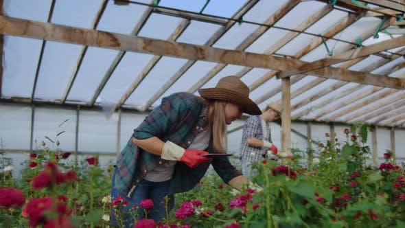 Thumbnail for Modern Rose Farmers Walk Through the Greenhouse with a Plantation of Flowers, Touch the Buds and